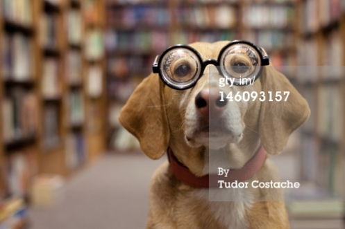Dog with thick glasses waits in library full of books.